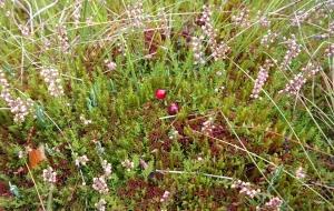 Canneberge ou cranberry : propriétés et atouts santé